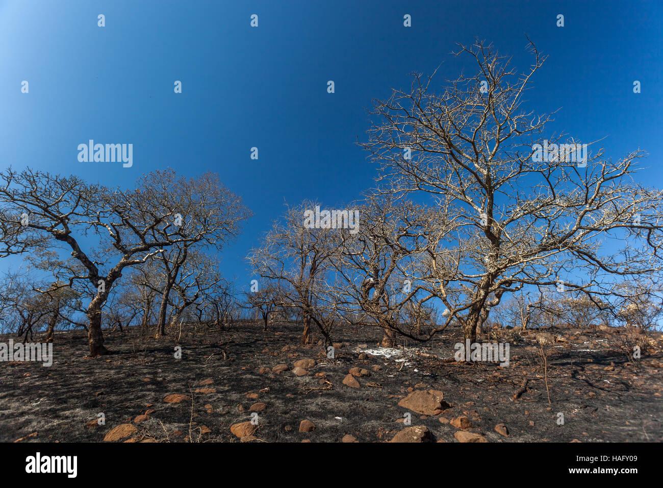 Wilderness fire burned trees grass contrasts on hillside landscape against blue sky - Stock Image