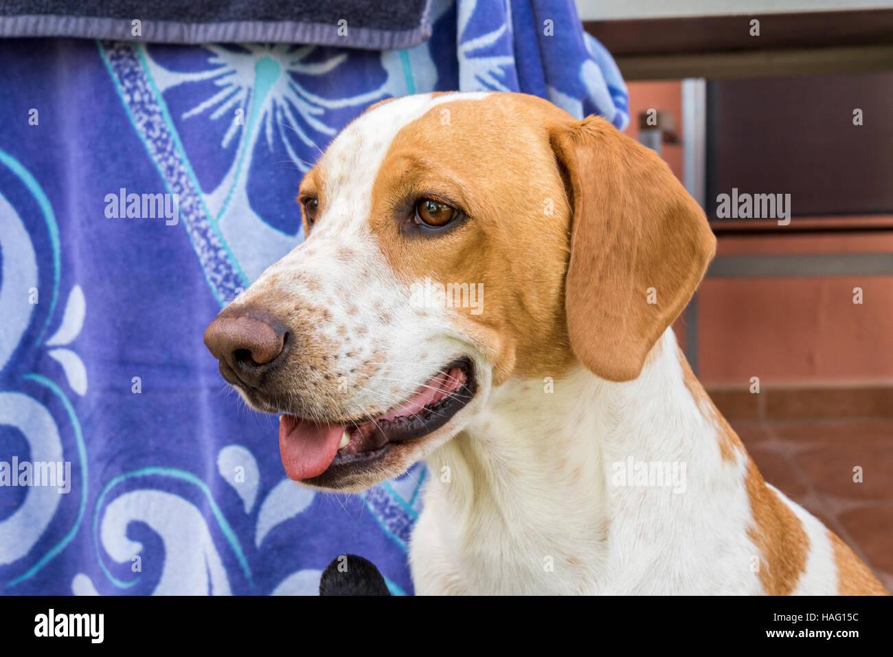 Funny beagle dog peering - Stock Image