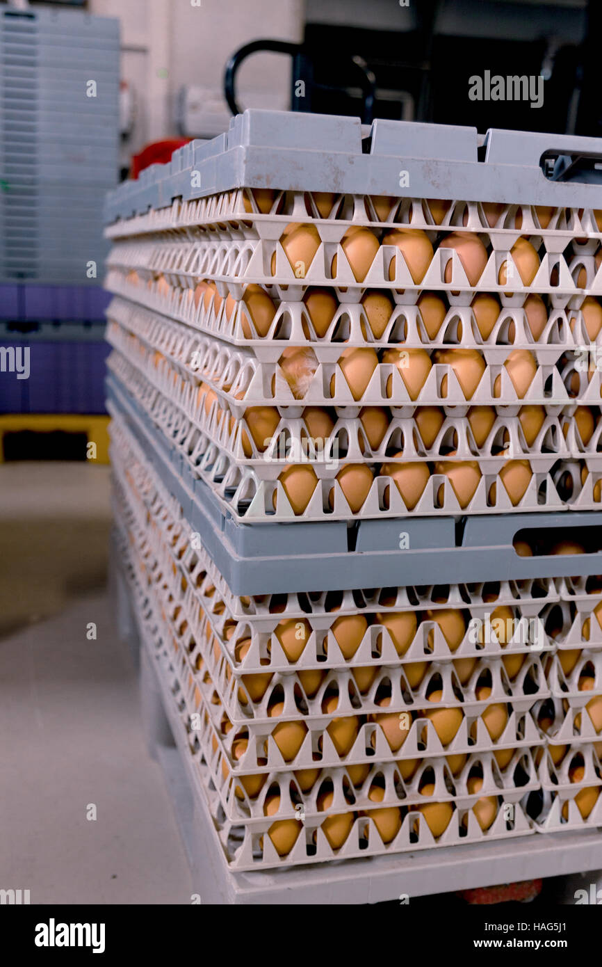 Eggs from chicken farm in the package that preserved in panel wholesale market - Stock Image