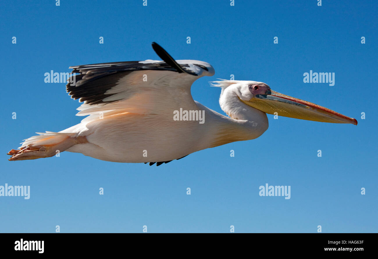 A Great White Pelican - Pelecanus onocrotalus - in flight over the sea near the coast of Namibia - Stock Image