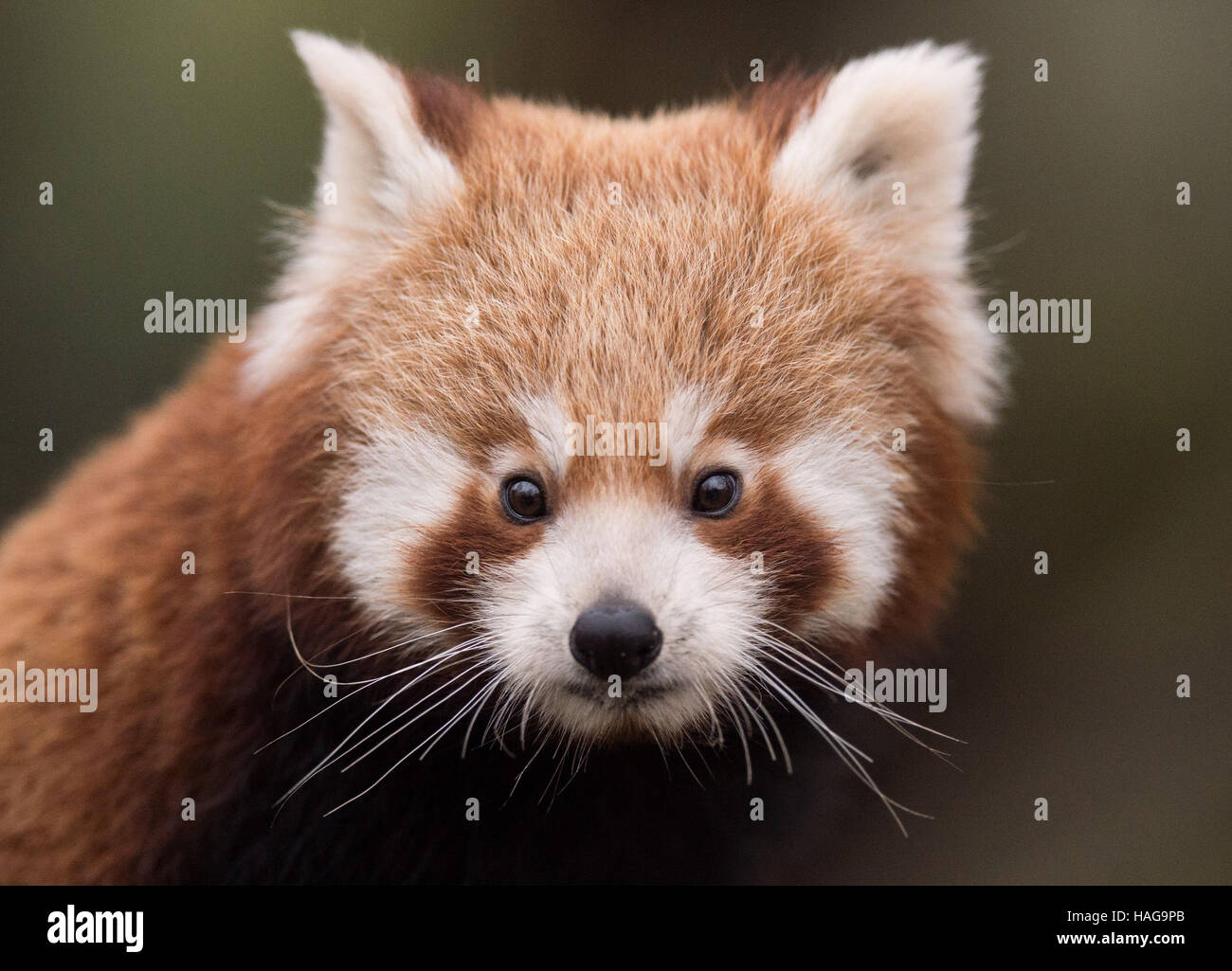 Dresden, Germany. 30th Nov, 2016. A red panda baby stands in his cage at the zoo in Dresden, Germany, 30 November - Stock Image