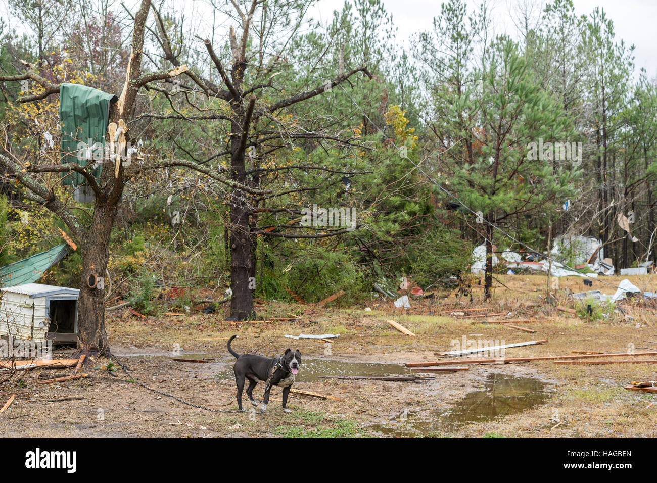 Sulligent, USA. 29th Nov, 2016. This dog was out all night, but survived the tornado just fine. Debris was scattered - Stock Image