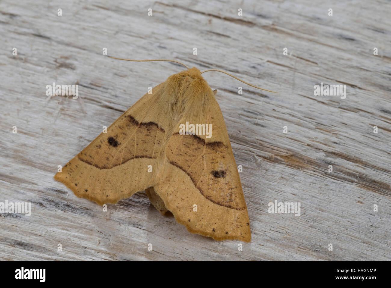 Heller Schmuckspanner, Hellgelber Schmuckspanner, Schmuck-Spanner, Weibchen, Crocallis elinguaria, scalloped oak, - Stock Image