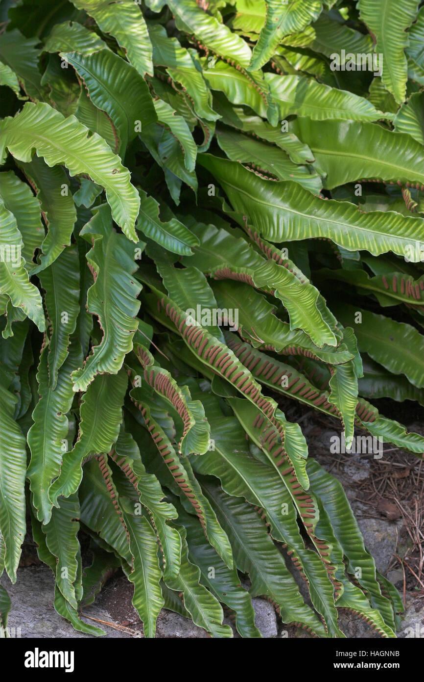 Hirschzungenfarn-Phyllitis scolopendrium