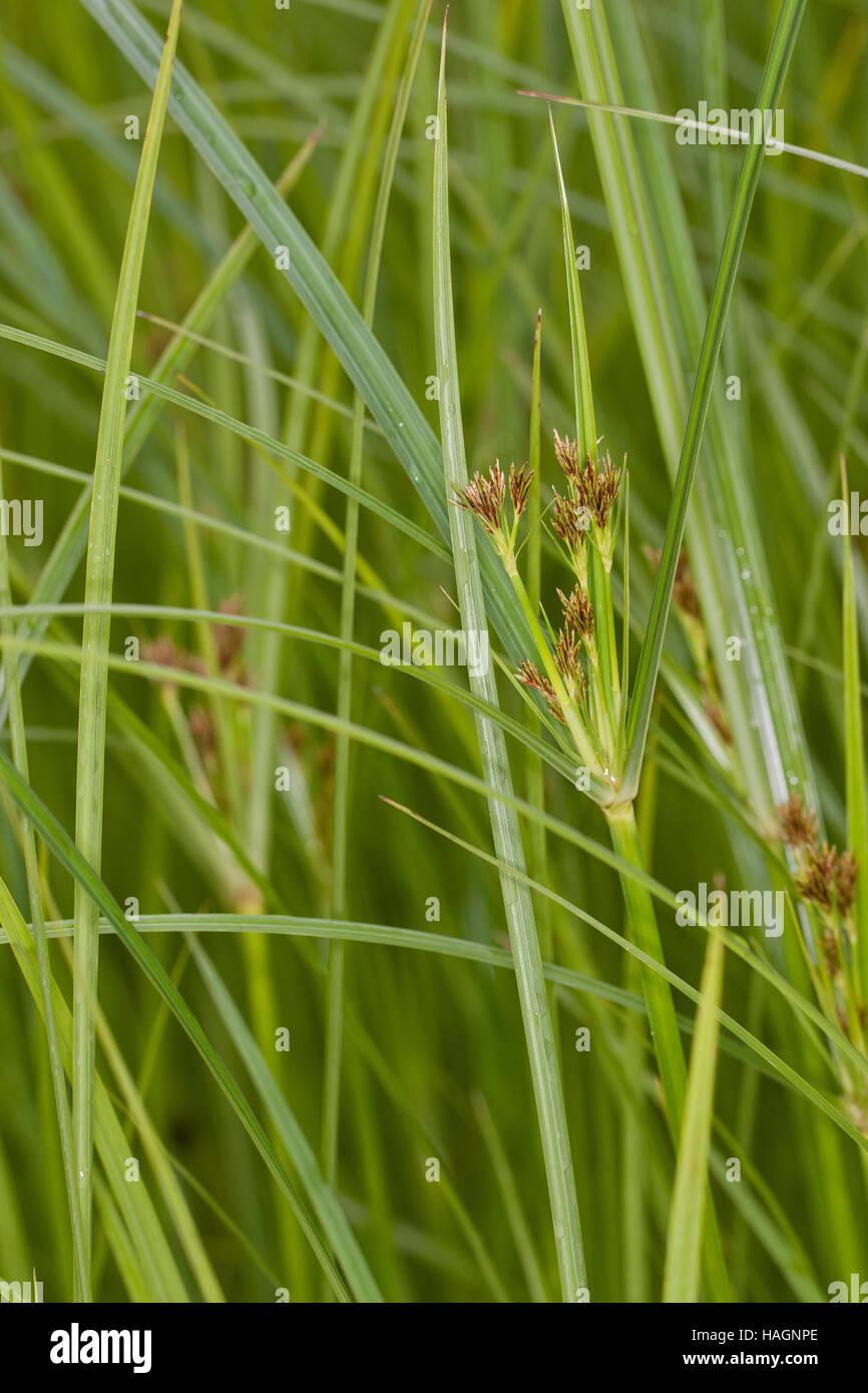 Hohes Zypergras, Langes Zypergras, Zyperngras, Cyperus longus, Galingale, Sweet Galingale - Stock Image