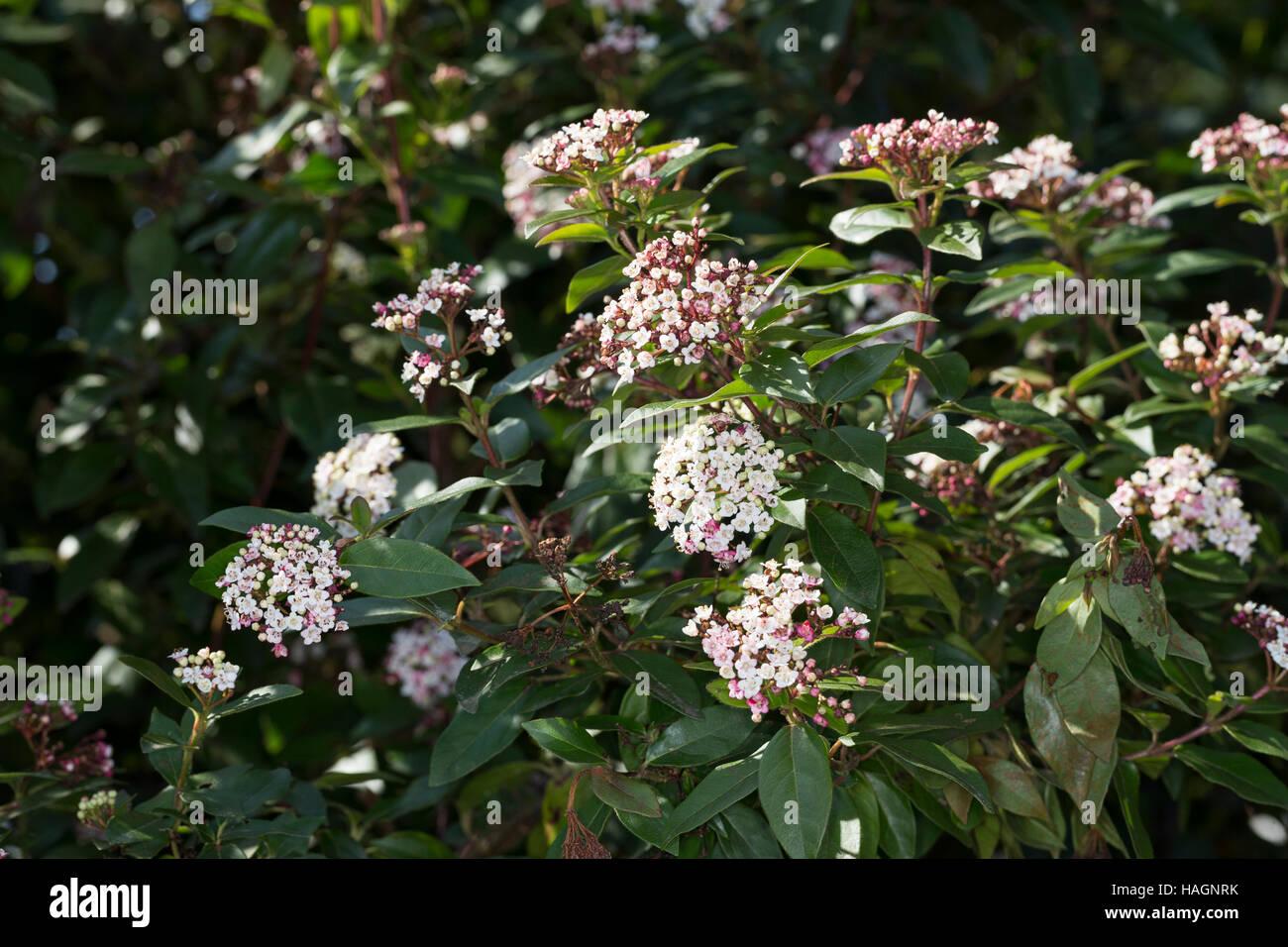 Immergrüner Schneeball, Lorbeerblättriger Schneeball, Lorbeerschneeball, Lorbeer-Schneeball, Lorbeer-Blättriger - Stock Image