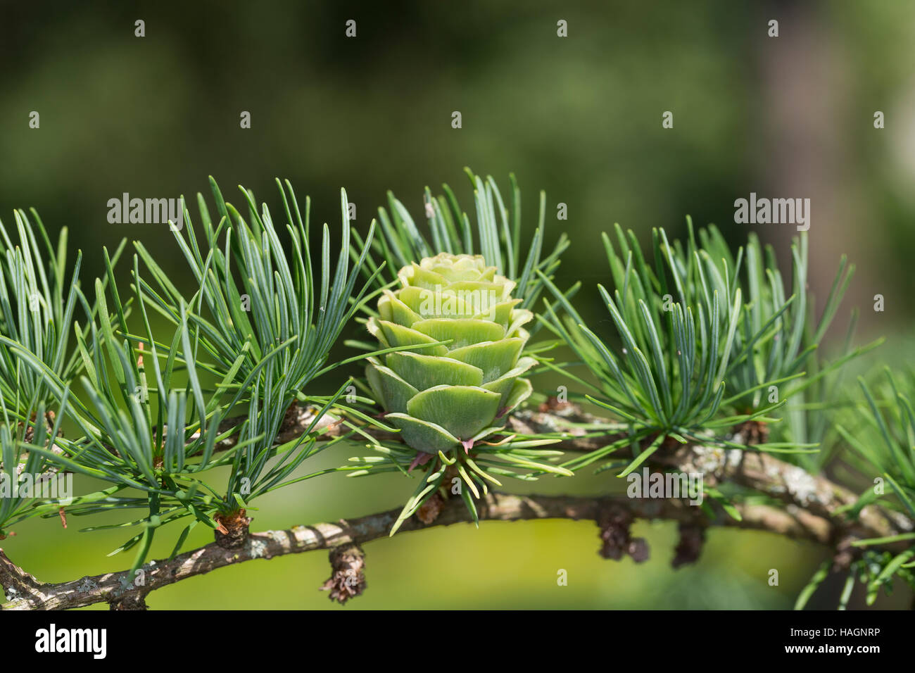 Japanische Lärche, Larix kaempferi, Larix leptolepis, Japanese larch, karamatsu, Le Mélèze du Japon - Stock Image