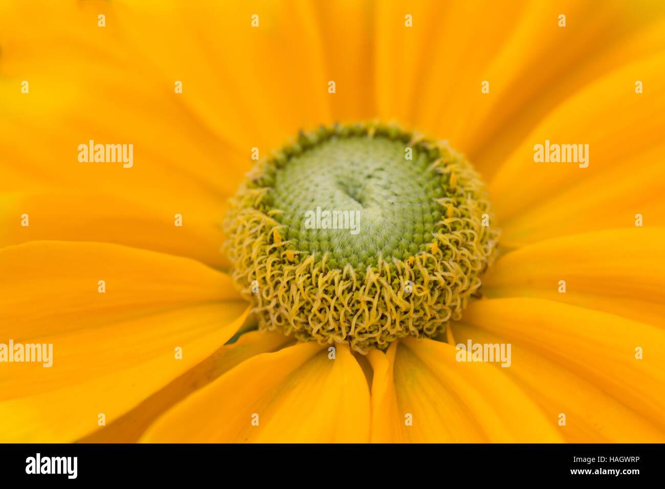 Yellow rudbeckia flower with green centre stock photo 126990634 alamy yellow rudbeckia flower with green centre mightylinksfo