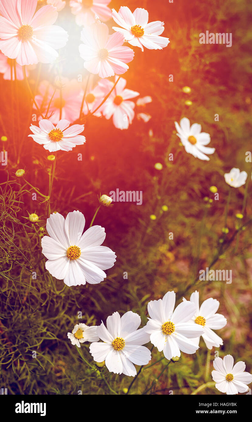 White Cosmos Flowers Blooming In The Garden Under The Sunlight Stock