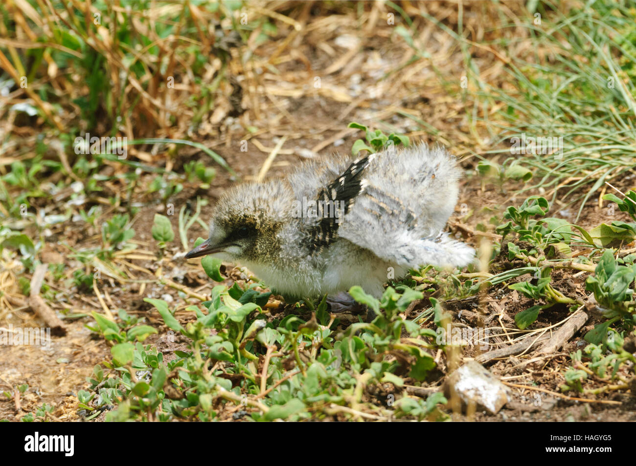 Very young Sooty Tern chick (Sterna fuscata), Lord Howe Island, New South Wales, Australia Stock Photo