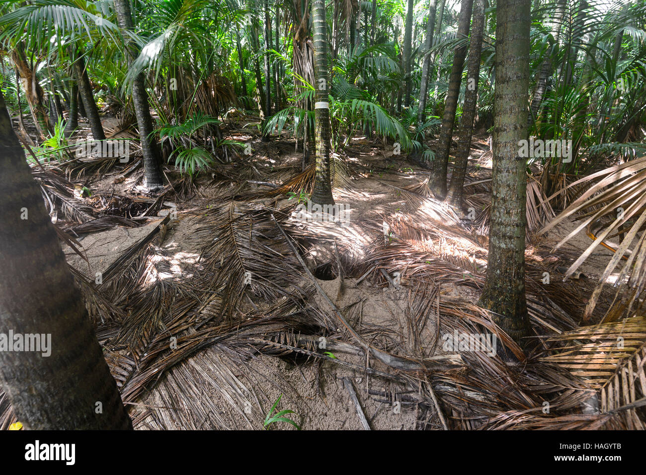 Burrows of Flesh-footed Shearwaters (Puffinus carneipes) or Muttonbirds in the Kentia Palms (Howea forsteriana) Stock Photo