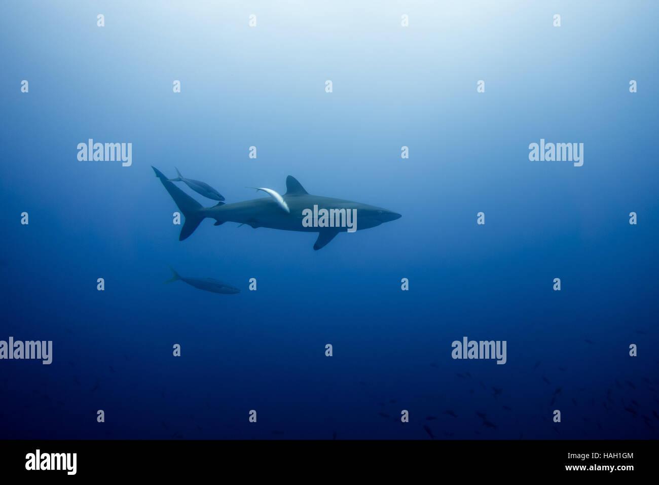 Silky Shark Malpelo - Stock Image