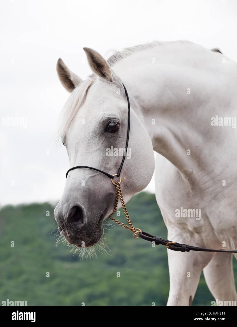 portrait of white amazing arabian stallion - Stock Image
