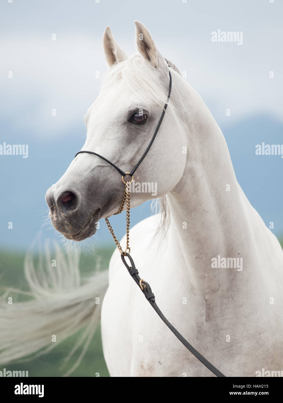 portrait of white amazing arabian stallion - Stock Image