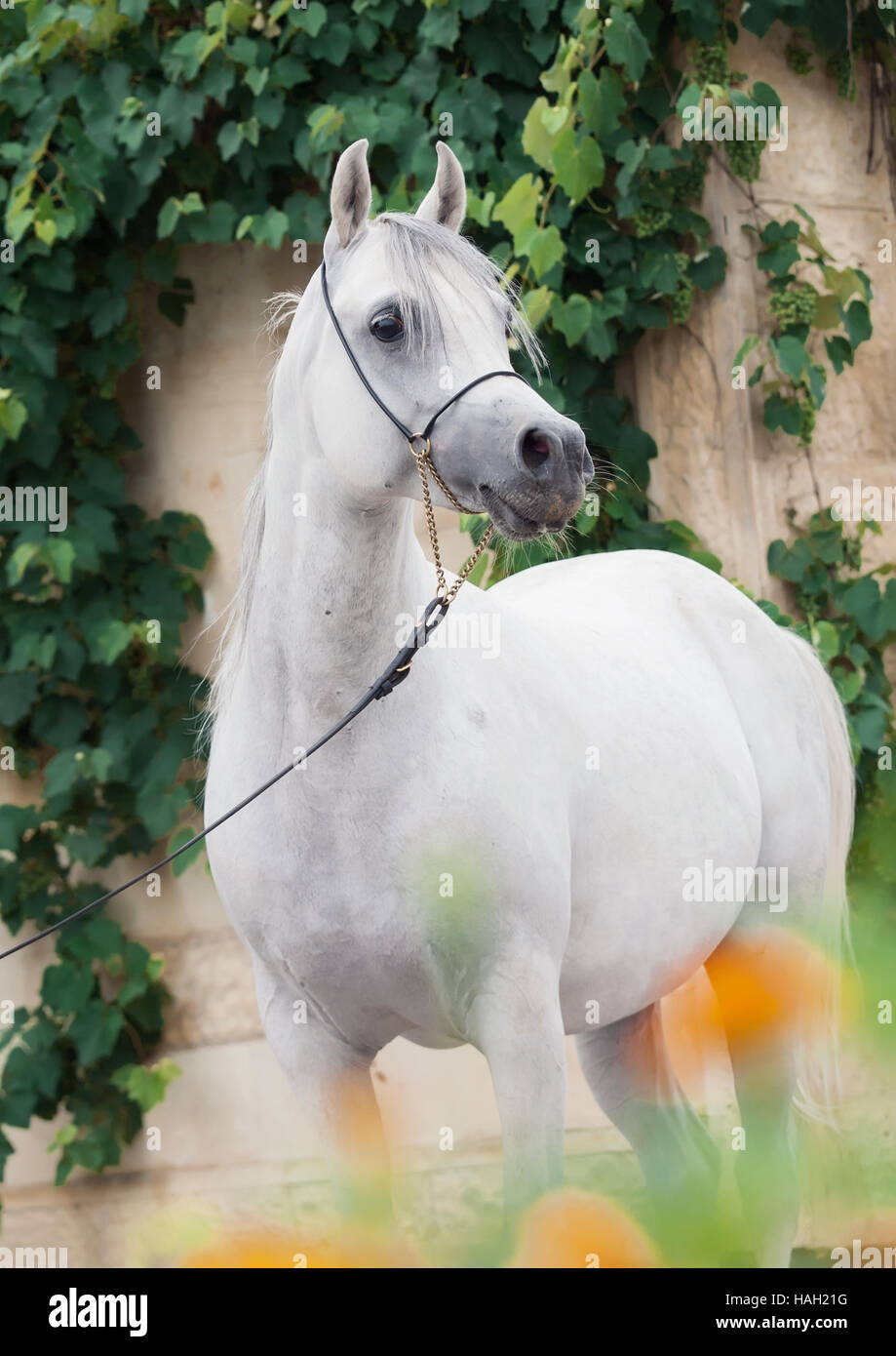 portrait of white amazing arabian stallion. - Stock Image