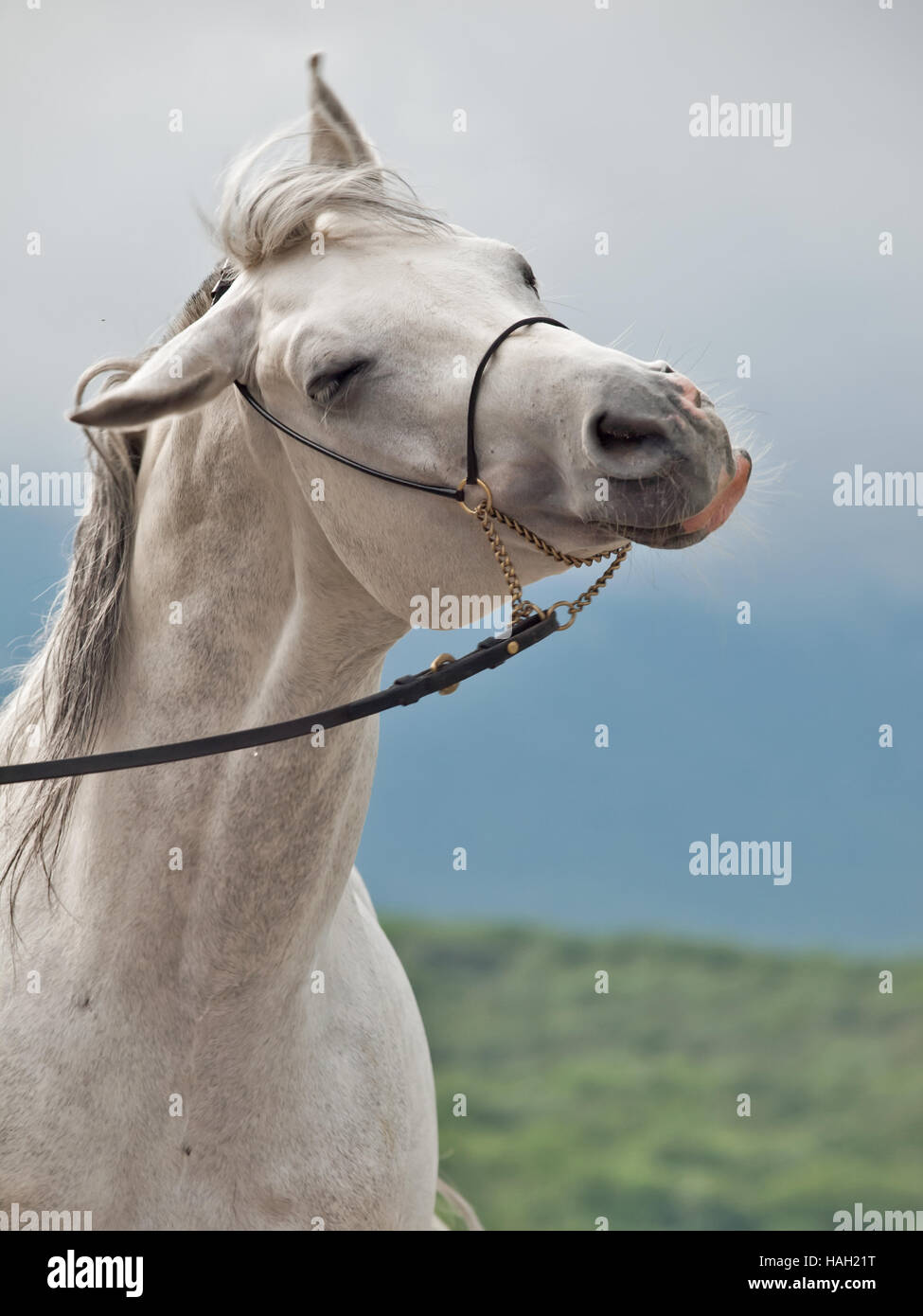 funny portrait of white horse - Stock Image