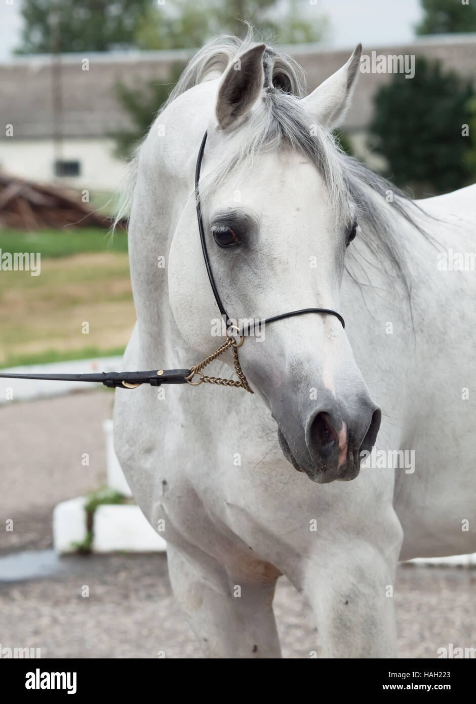 portrait of white arabian horse. close up - Stock Image