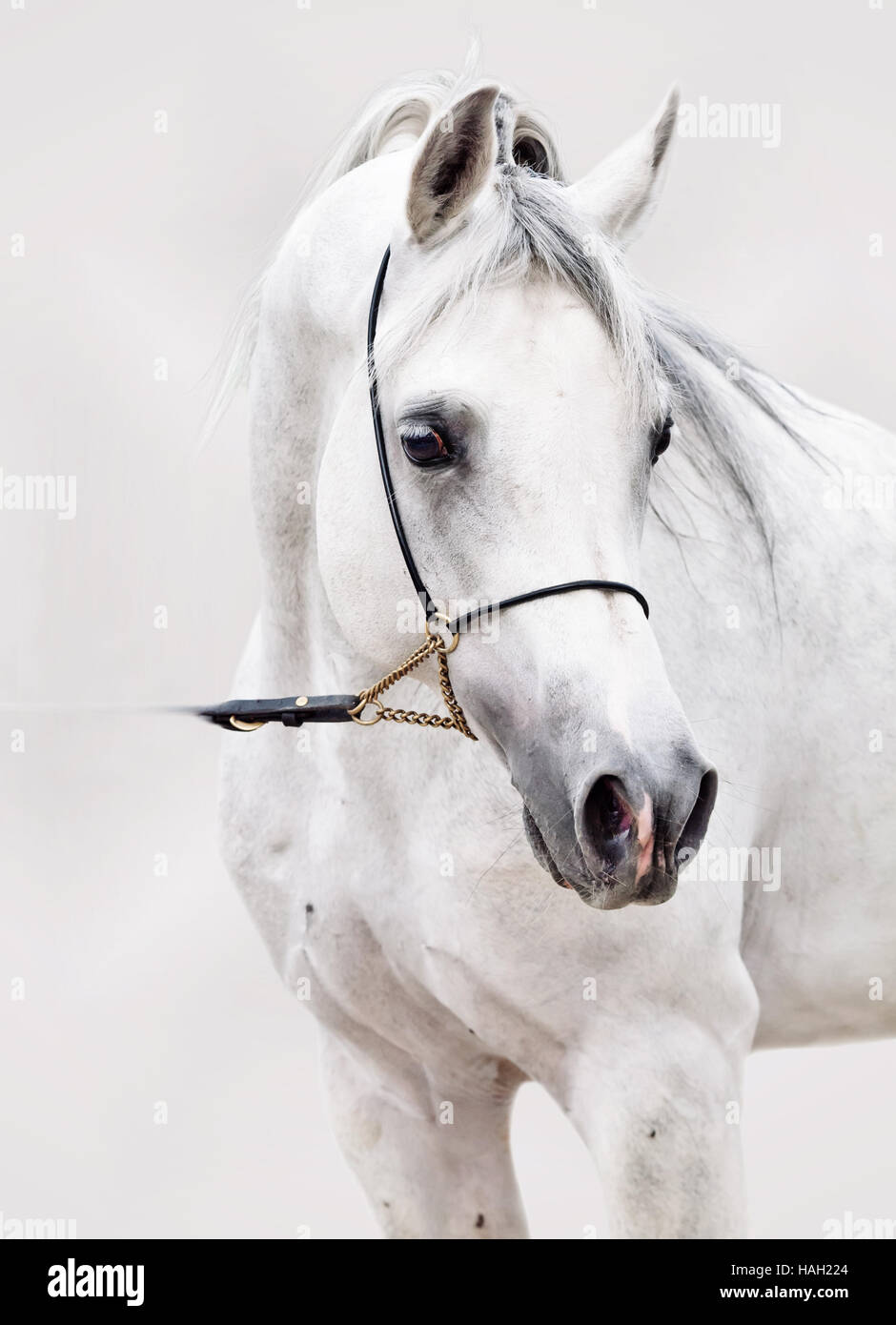 portrait of white arabian horse. at grey background Stock Photo