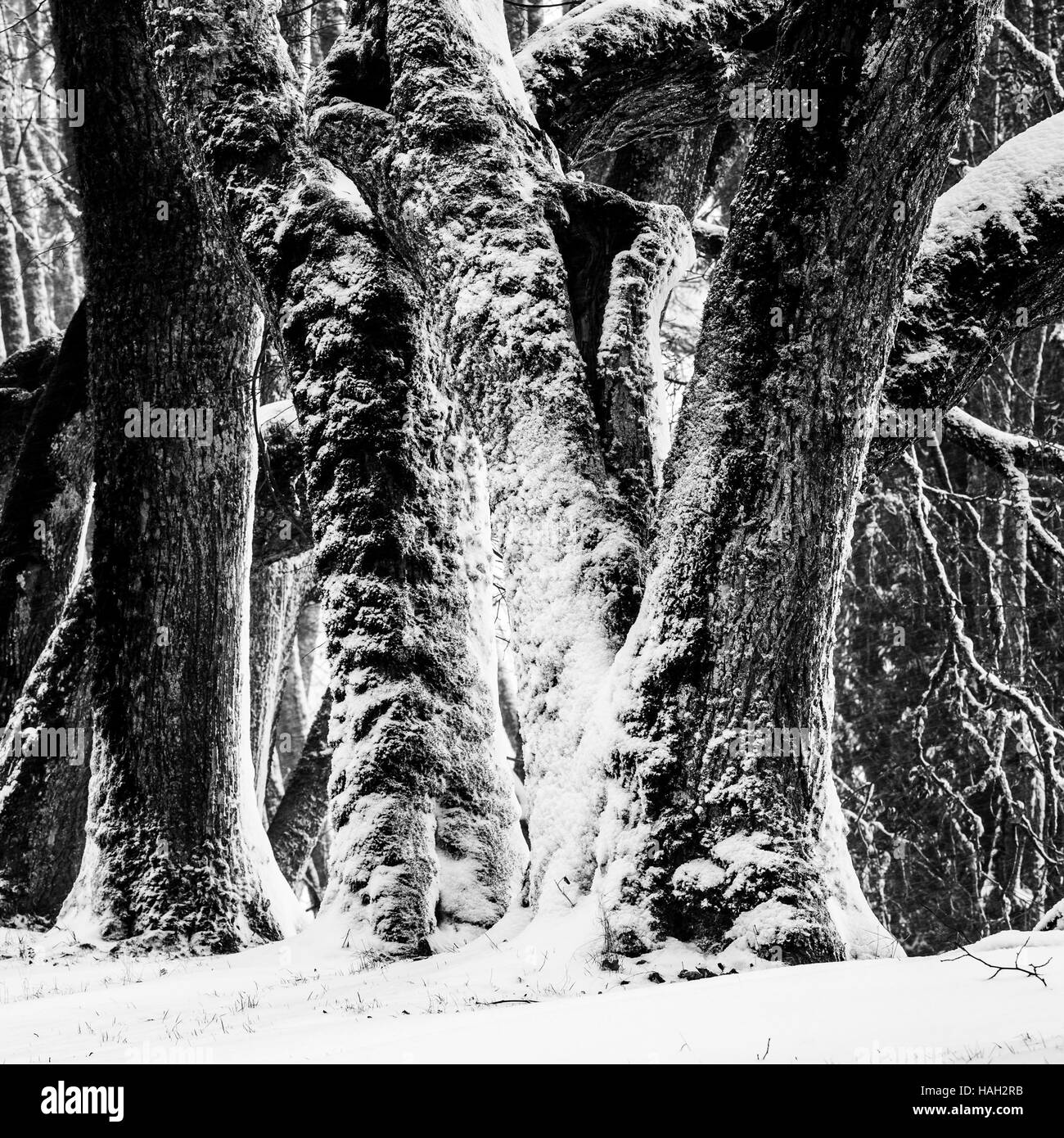 Stems of old Tilia trees in winter - Stock Image
