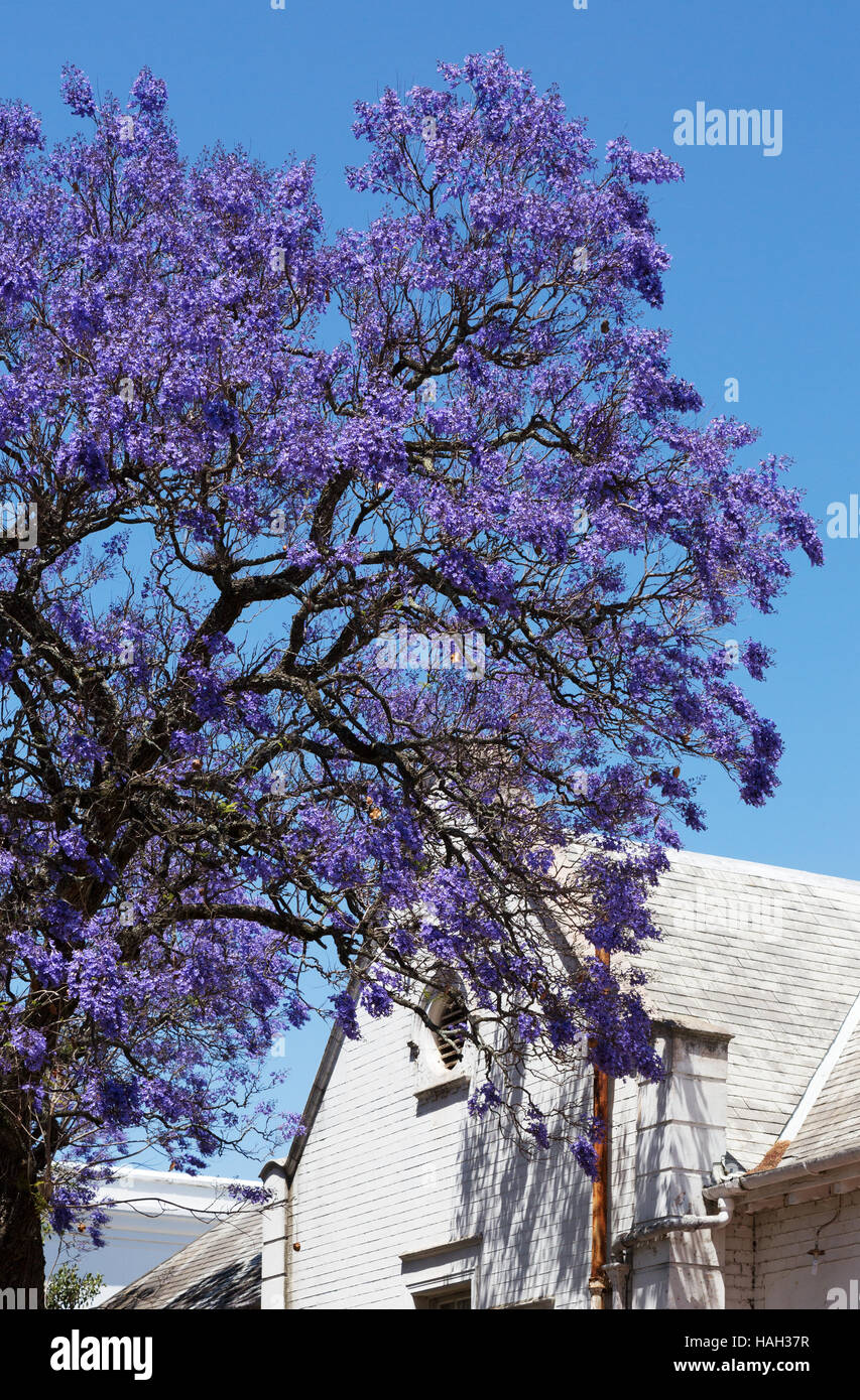Jacaranda tree stock photos jacaranda tree stock images alamy blue purple flowers on a jacaranda tree against a white building stellenbosch south africa izmirmasajfo