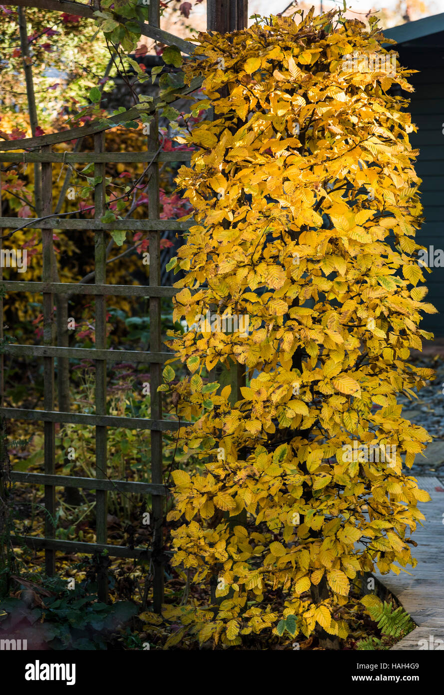 Carpinus betulus Hornbeam. Betulaceae. Trimmed and shaped into a coloumn. - Stock Image