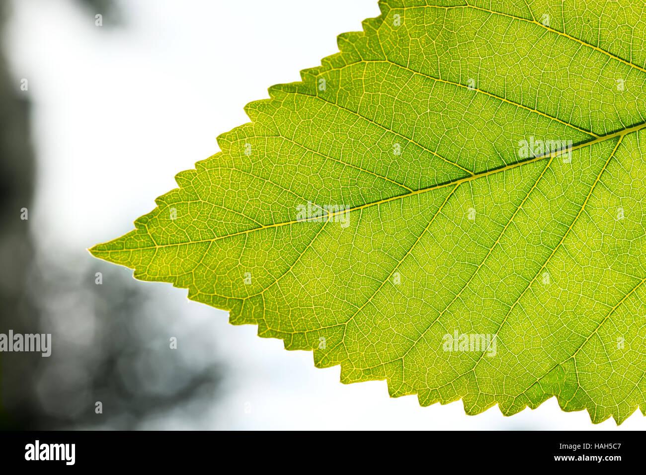 Fragment a green leaf, backlit on a blurred background close-up. - Stock Image