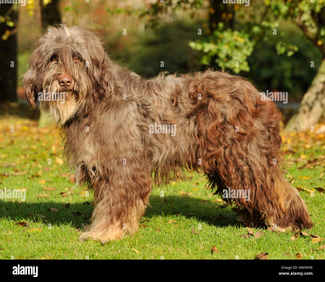 catalan sheepdog, male - Stock Image
