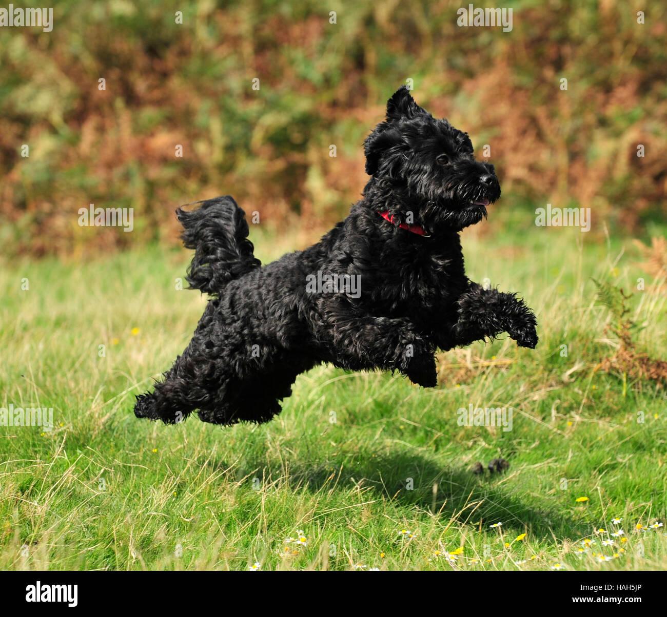 black cockerpoo uk fall Stock Photo