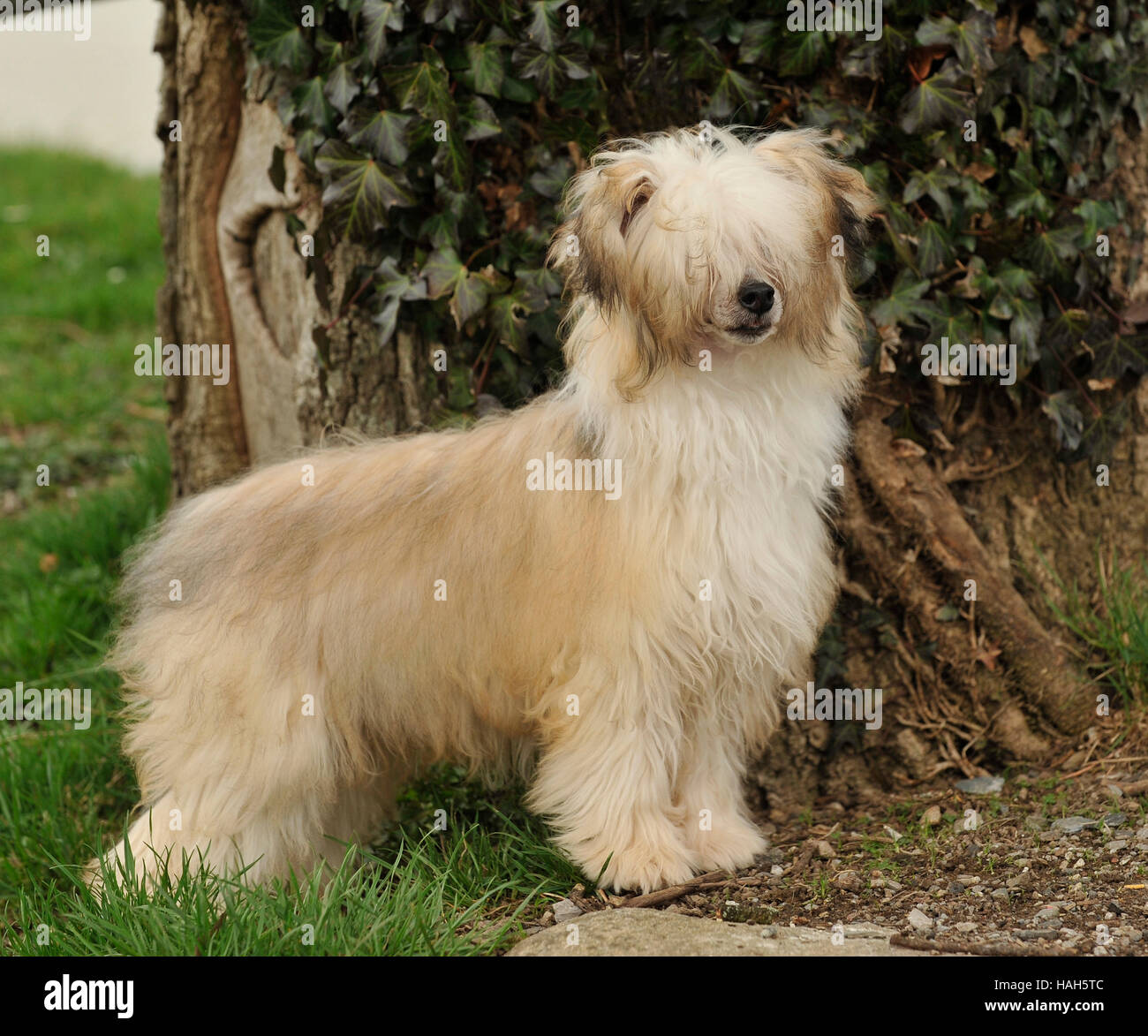 chinese crested (powderpuff) - Stock Image