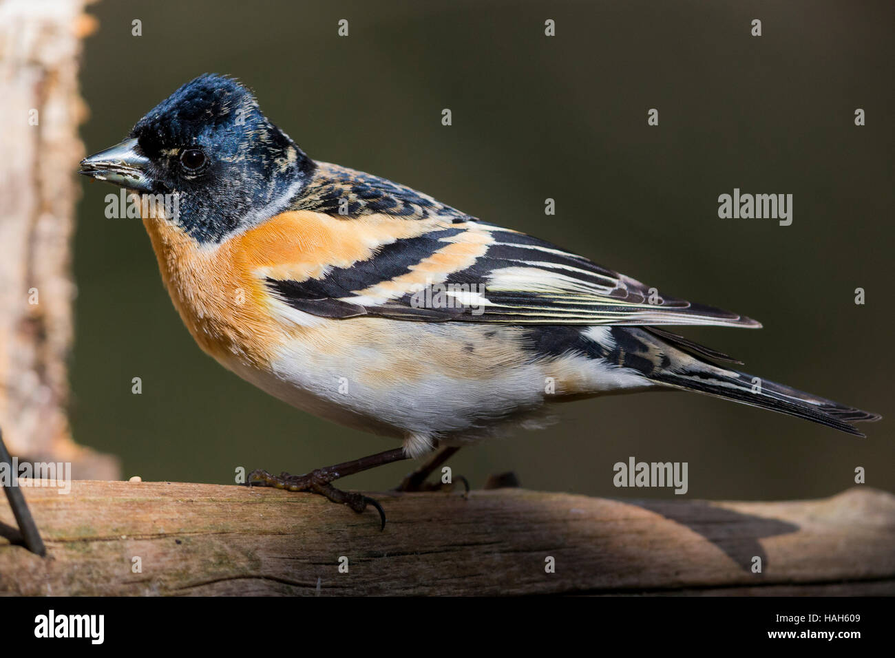 Brambling (Fringilla montifringilla), adult male at bird feeder - Stock Image