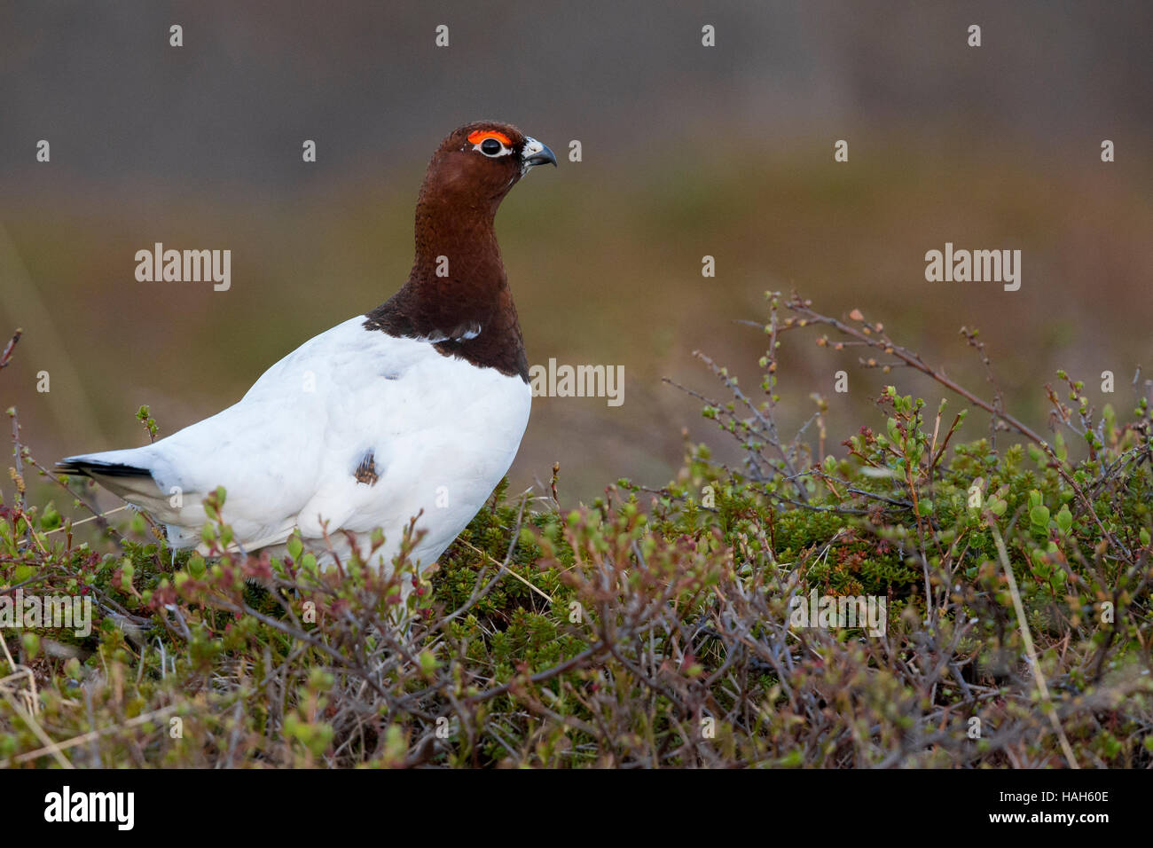 Willow Ptarmigan (Lagopus lagopus), adult male standing on the ground - Stock Image