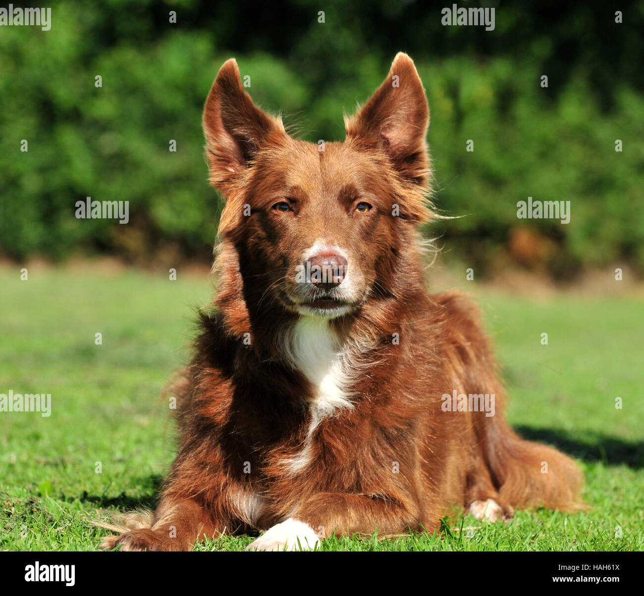 border collie UK red - Stock Image