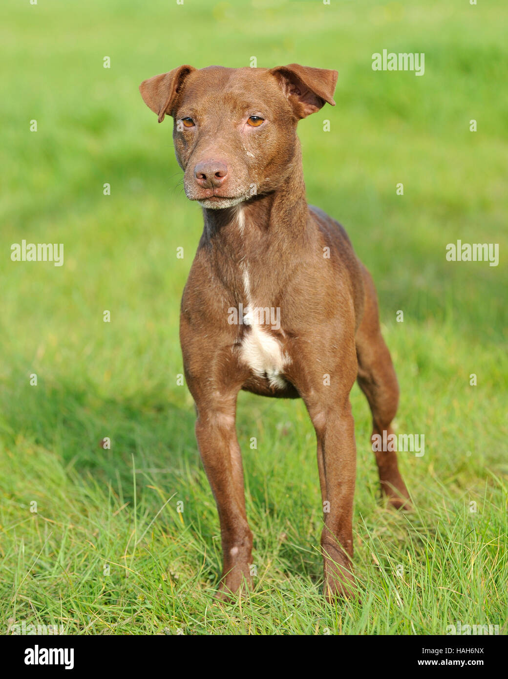 fell terrier - Stock Image