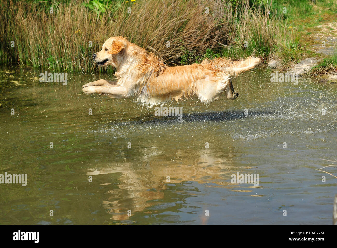 golden retriever leaping into a lake - Stock Image