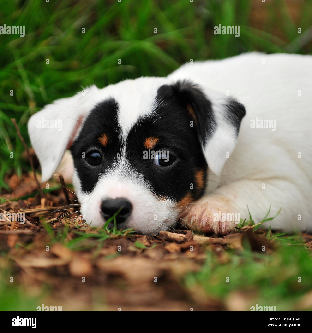 jack russell puppy UK fall - Stock Image