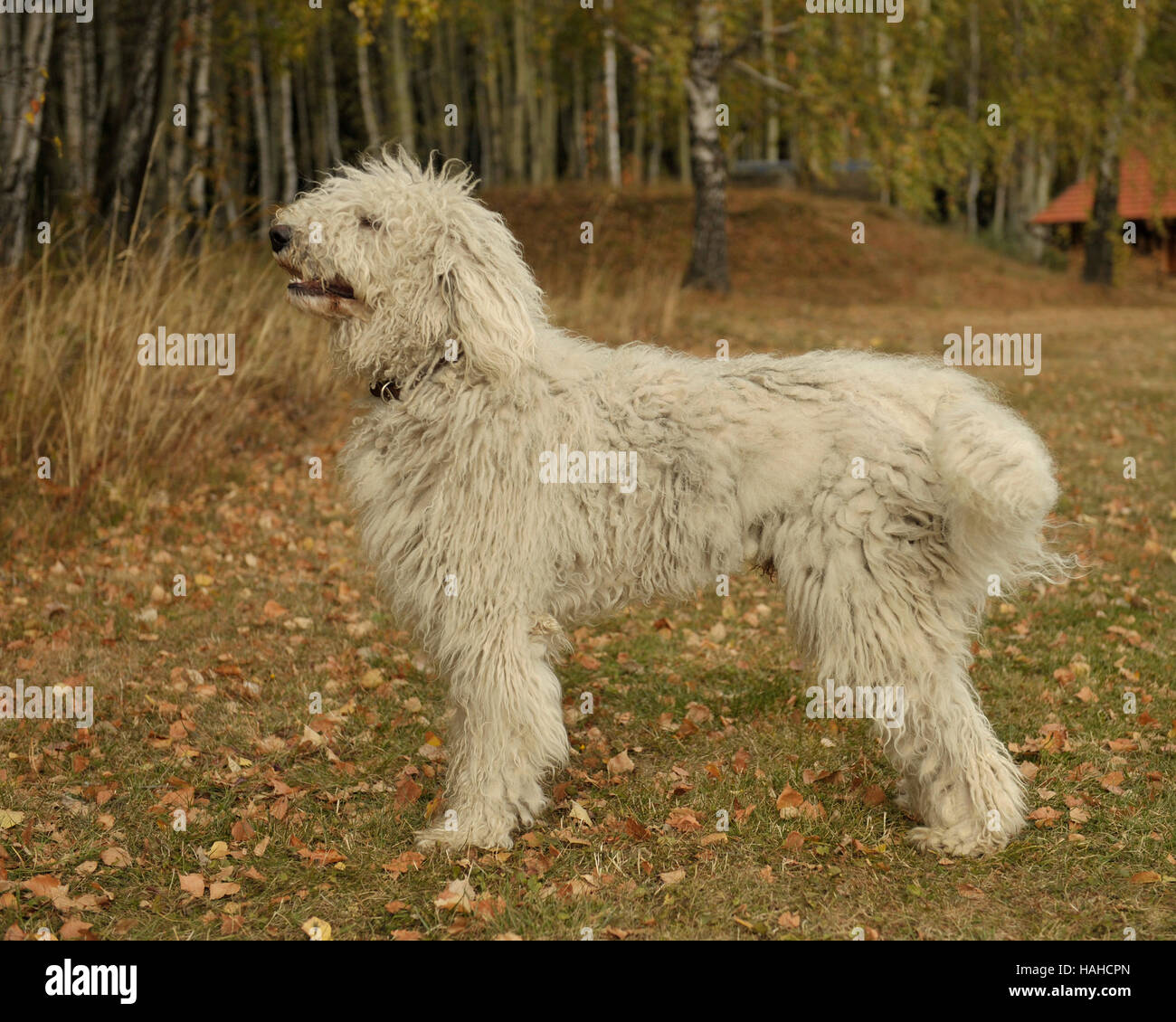 Hungarian komondor after coat clipped off, in hungarian forest - Stock Image