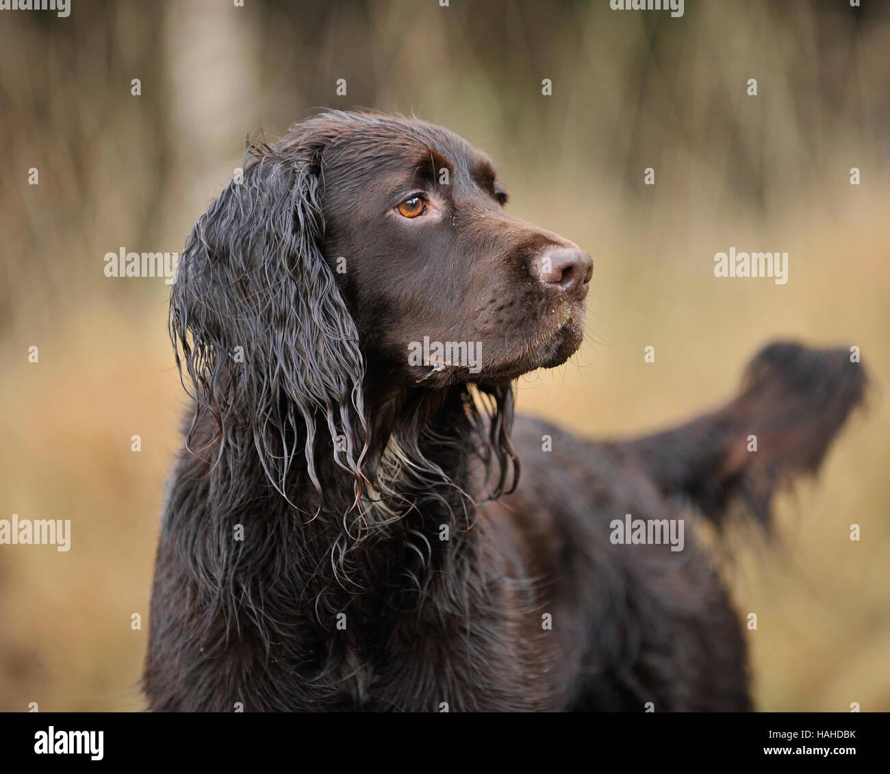 springer x labrador working gundog, male - Stock Image