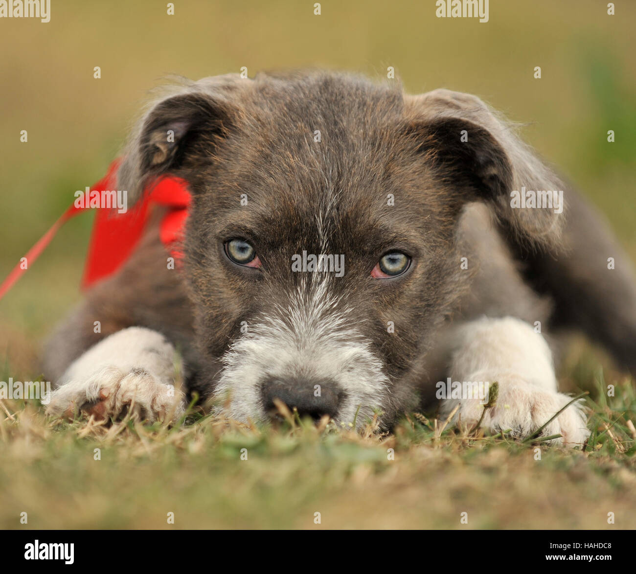 Staff Bull Terrier X Jack Russell Puppy 14 Weeks Stock Photo