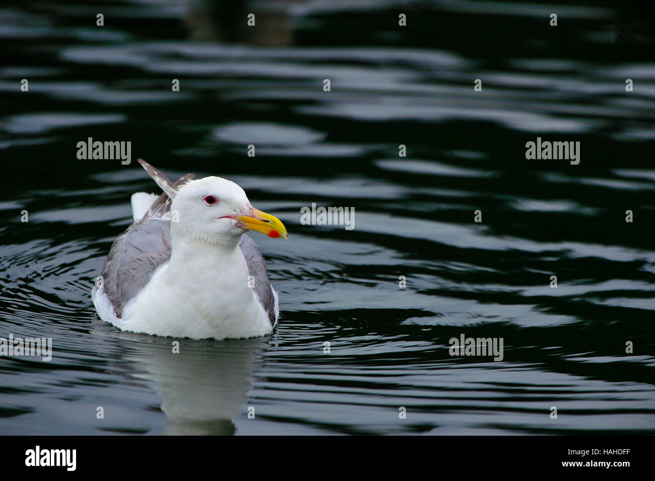 A glaucous-winged gull (Larus glaucescens), resting on calm dark water - Stock Image