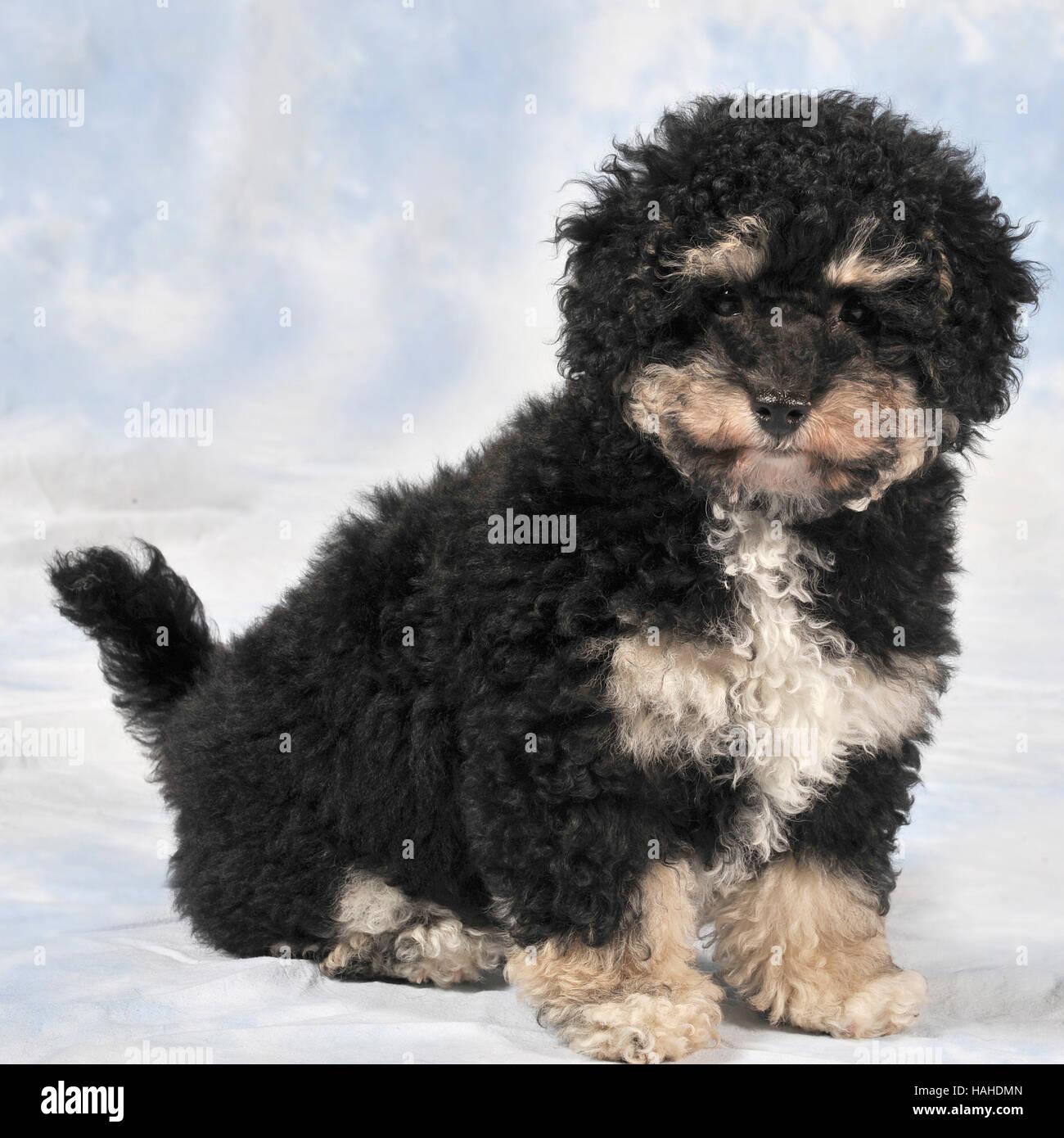 Bichon Poodle Stock Photos Bichon Poodle Stock Images Alamy