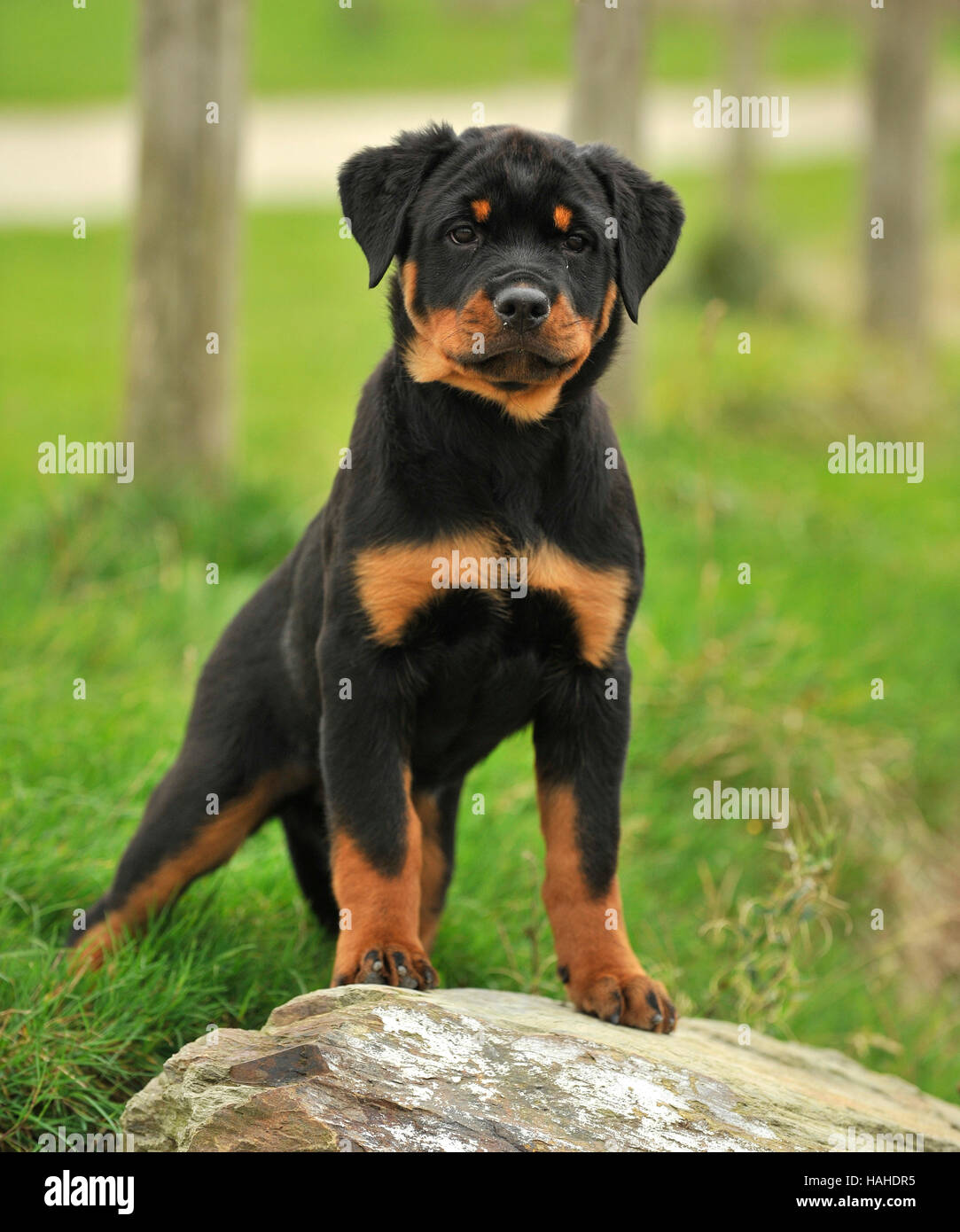 Rottweiler Puppy 15 Weeks Old Stock Photo 127003161 Alamy