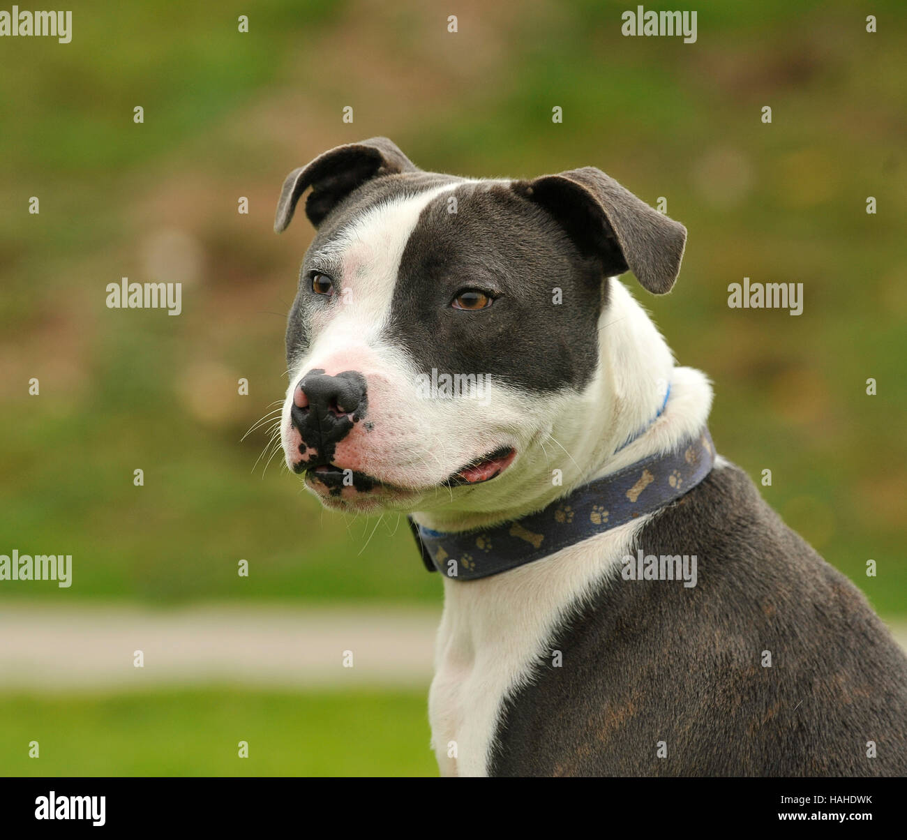 staffordshire bull terrier blue and white UK - Stock Image