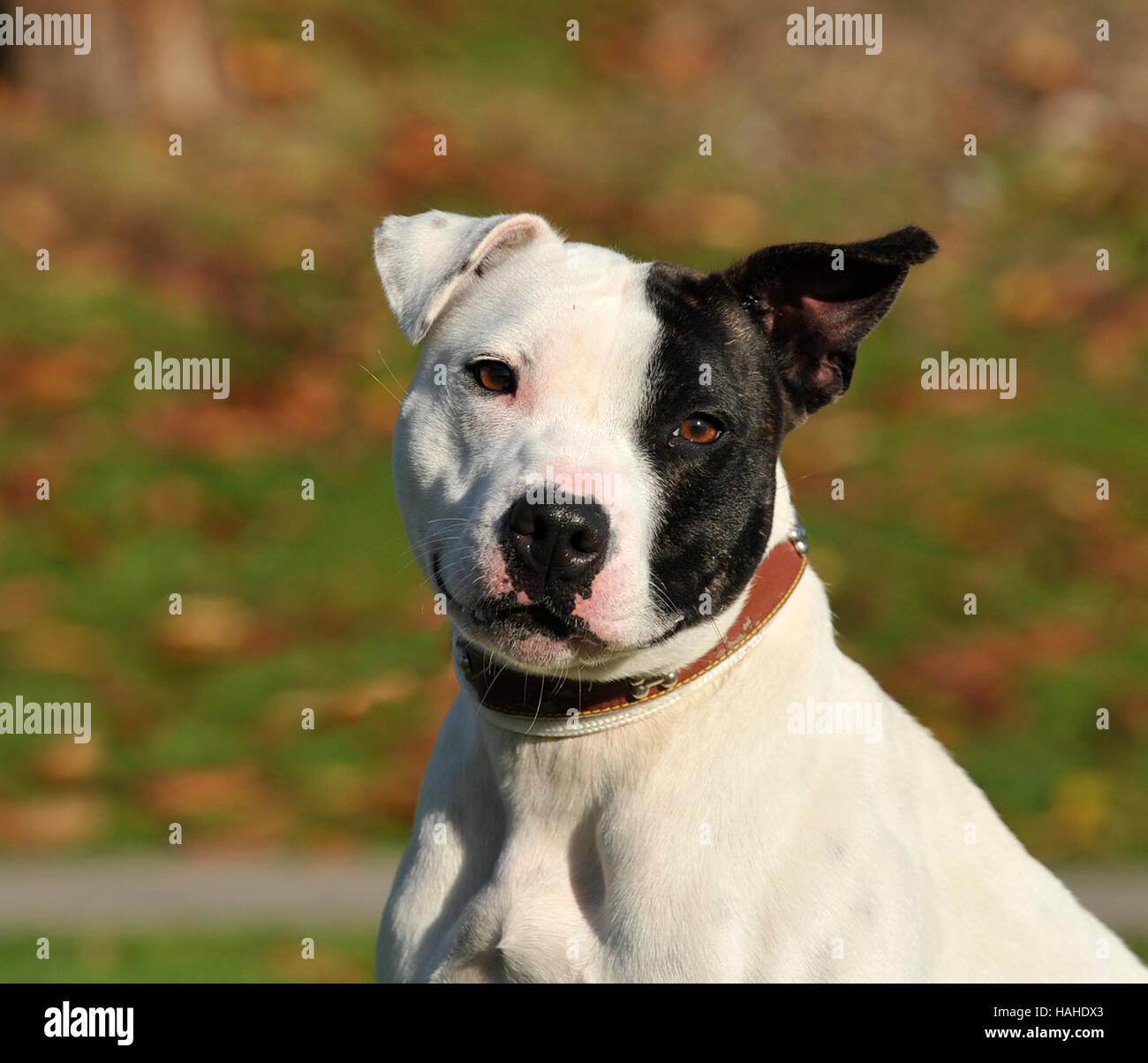 staffordshire bull terrier uk - Stock Image