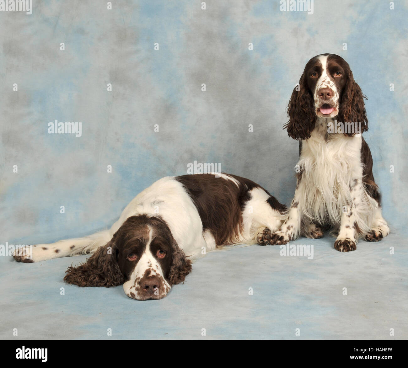 two english springer spaniels, liver and white. show prepared Stock Photo