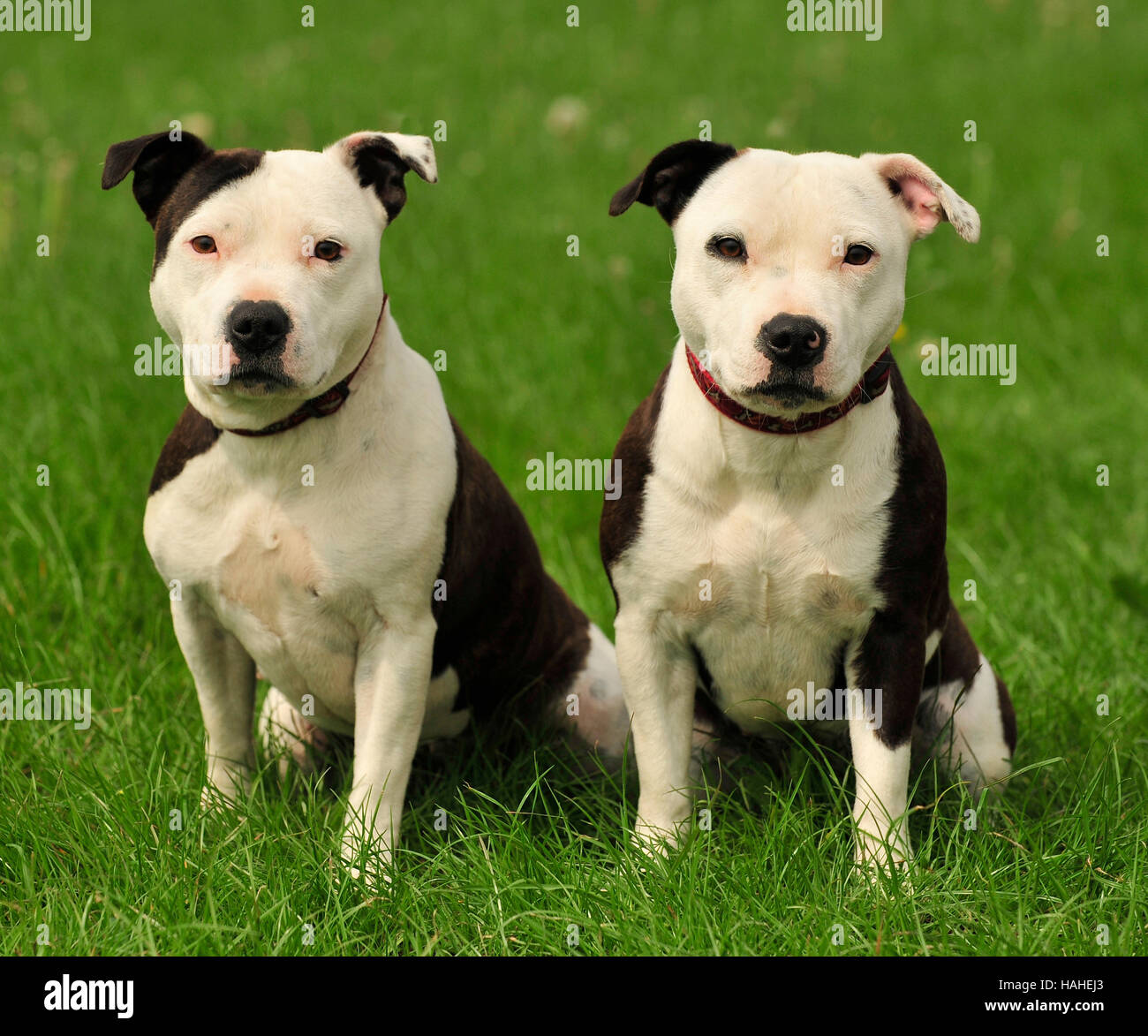 staffordshire bull terriers litter brothers pied. - Stock Image