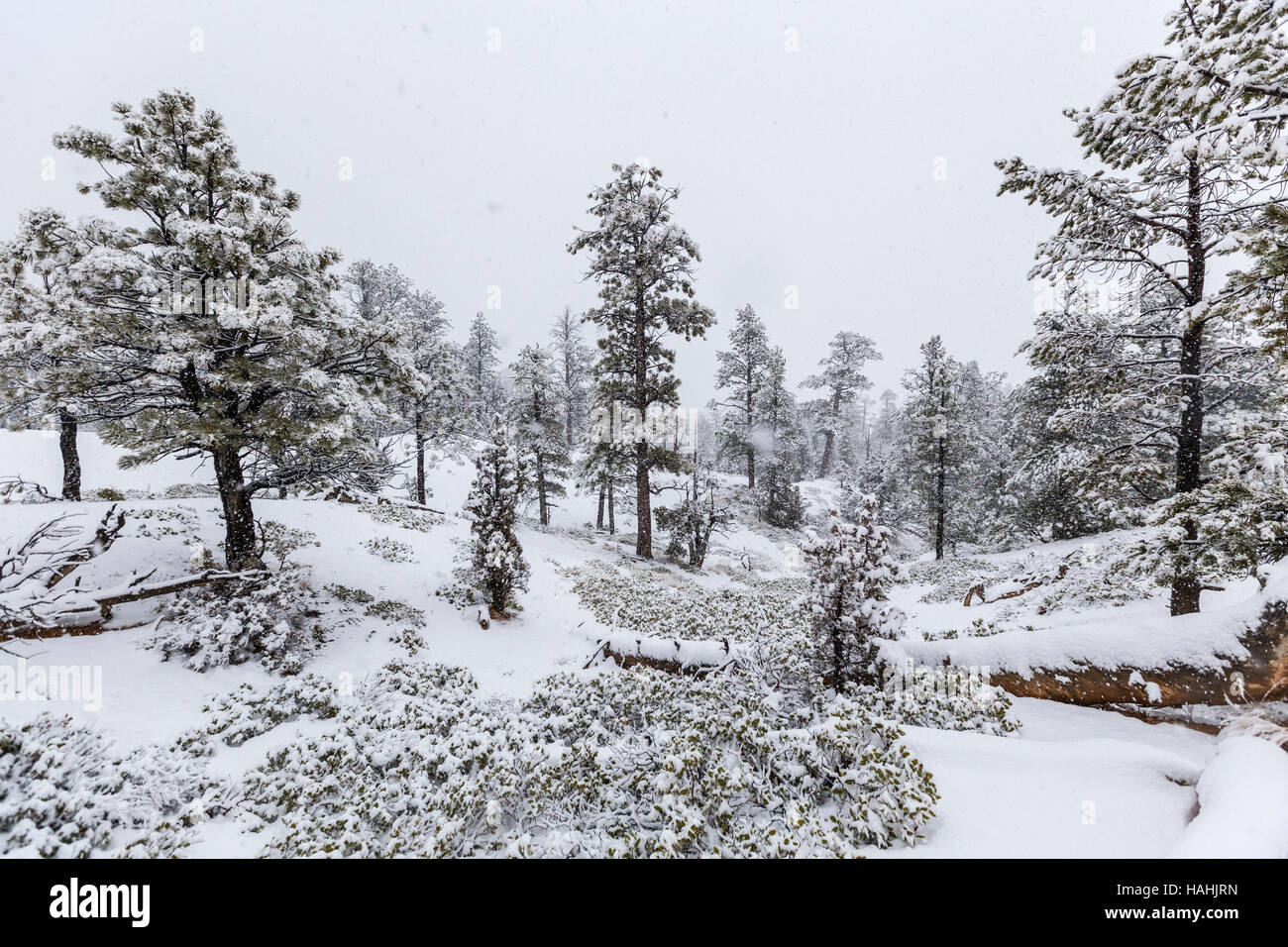Heavy winter snowfall in progress at Bryce Canyon National Park. Stock Photo