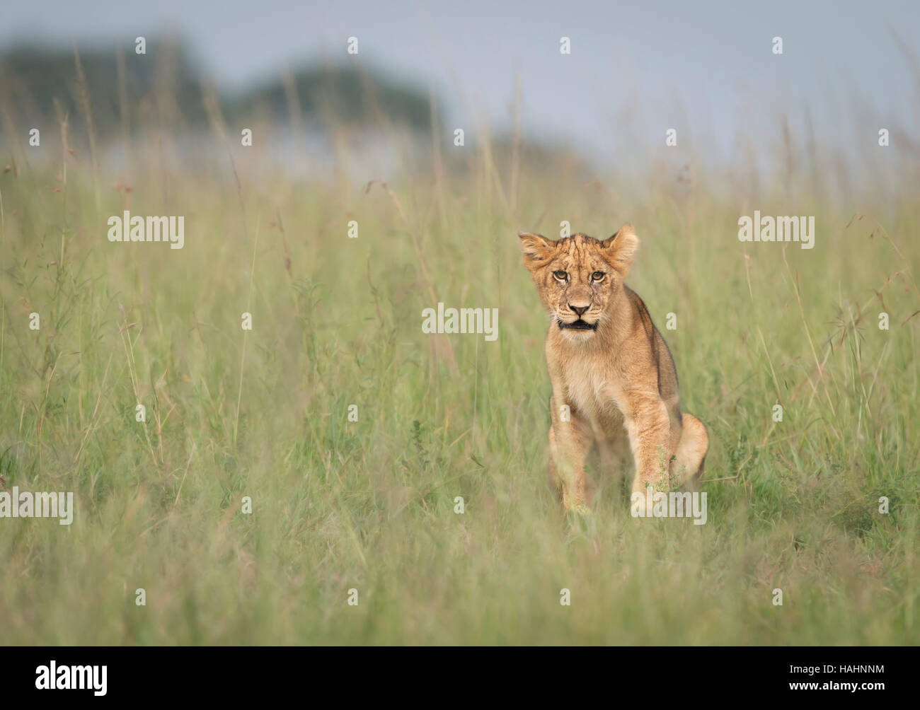 Lion Cub makes direct eye contact in tall grass - Stock Image