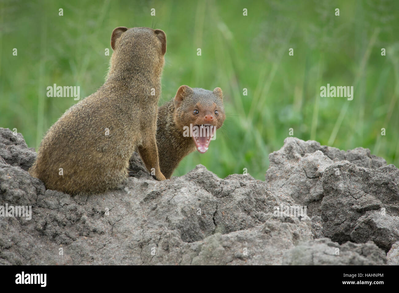Two Dwarf Mongoose on a termite mound, one yawning Stock Photo
