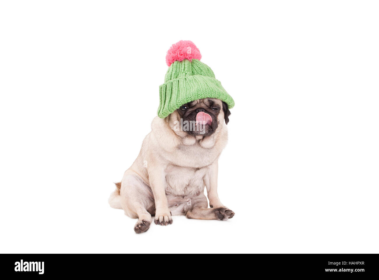 pug puppy dog sitting down, wearing a green knitted hat with pink pompon and licking nose, on white background - Stock Image