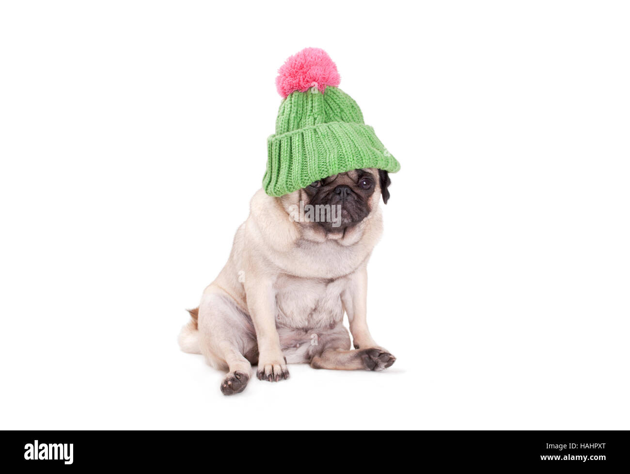 pug puppy dog sitting down and wearing green kniited rib stitch hat with pink pompon, on white background - Stock Image